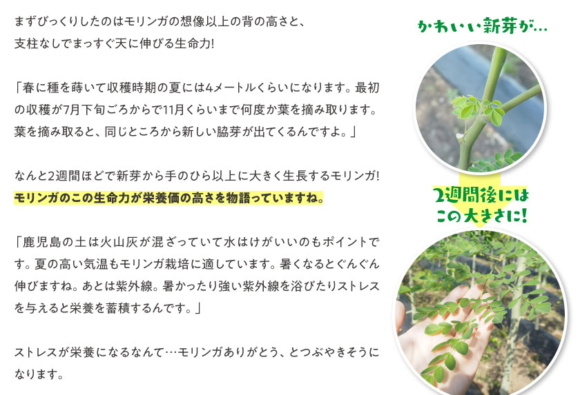 まずびっくりしたのはモリンガの想像以上の背の高さと、支柱なしでまっすぐ天に伸びる生命力!「春に種を蒔いて収穫時期の夏には4メートルくらいになります。最初の収穫が7月下旬ごろからで11月くらいまで何度か葉を摘み取ります。葉を摘み取ると、同じところから新しい脇芽が出てくるんですよ。」なんと2週間ほどで新芽から手のひら以上に大きく生長するモリンガ!モリンガのこの生命力が栄養価の高さを物語っていますね。「鹿児島の土は火山灰が混ざっていて水はけがいいのもポイントです。夏の高い気温もモリンガ栽培に適しています。暑くなるとぐんぐん伸びますね。あとは紫外線。暑かったり強い紫外線を浴びたりストレスを与えると栄養を蓄積するんです。」ストレスが栄養になるなんて…モリンガありがとう、とつぶやきそうになります。